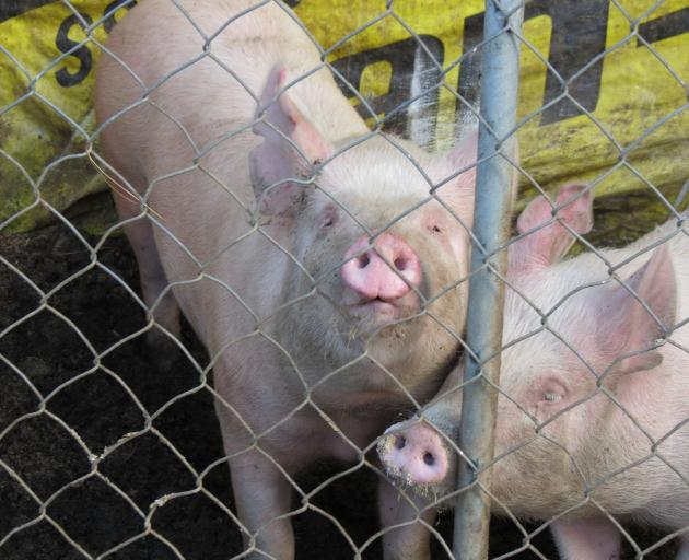 Pigs will replace cattle at this year's Wyndham A&P Show on December 1. Photo: Yvonne O'Hara