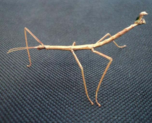 . . . this stick insect found by Darryl Young on a path in Dunedin . . . (Photo: Darryl Young)