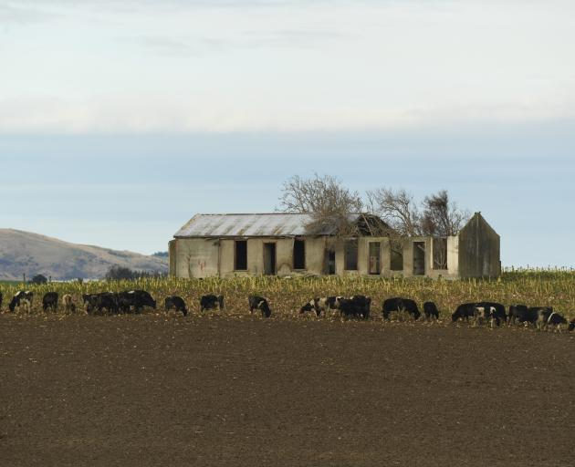 Cows tuck into winter fodder at Kelso near a disused farm building. Photo: Stephen Jaquiery