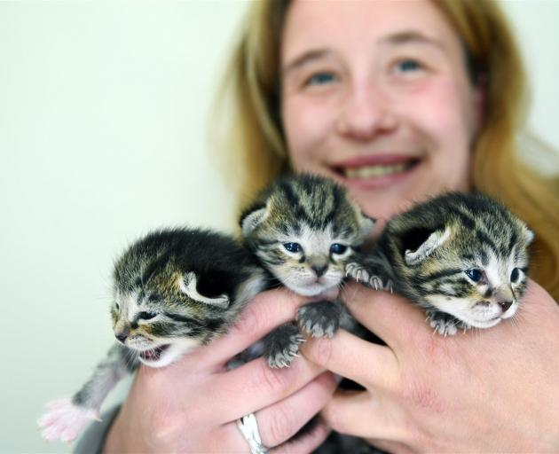 Kitten fosterer Jess Cripps says getting cats of her own gave her the impetus to start looking after Jack (left), Sally (centre) and Betty. Photo: Stephen Jaquiery