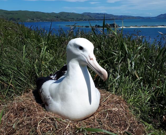 An albatross nurses an egg at Taiaroa Head yesterday. PHOTO: JIM WATTS (DOC)