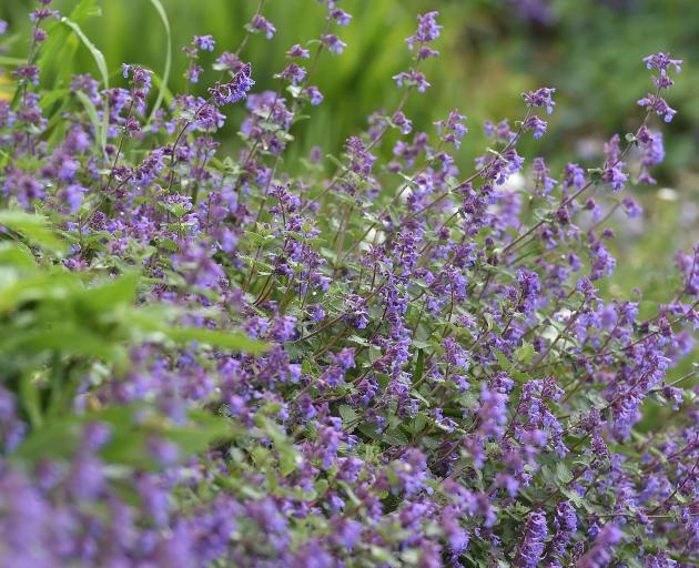 The darker blue flowering Nepeta racemosa 'Superba' at Dunedin Botanic Garden. Photo: