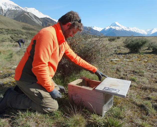 Twizel-based Department of Conservation predator-control ranger Glen Currall inspects a trap near...