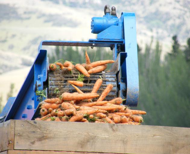 Pypers Produce Ltd has produced a good crop of carrots at its Ettrick trial site. Photo: Otago Images