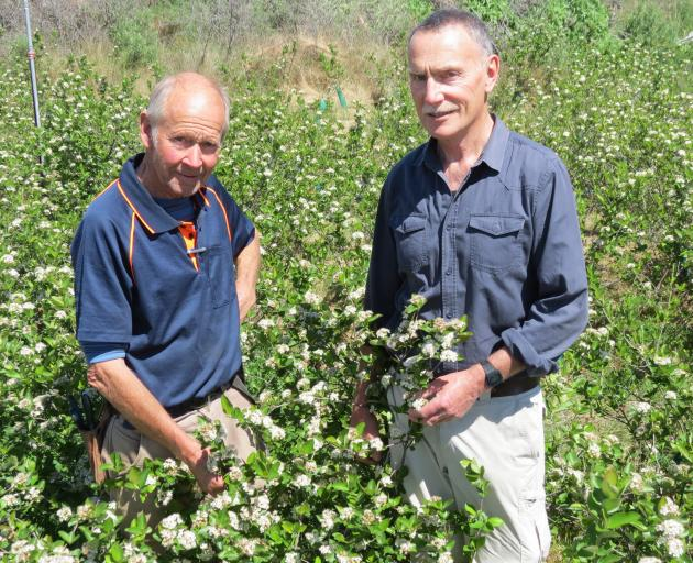Trial plantings of aronia berries seem successful and may well prove commercially viable. Admiring the aronia blooms are (from left) Barrie Mackie, of Alexandra, and Ross Meldrum, of Alexandra and Dunedin. Photo: Yvonne O'Hara