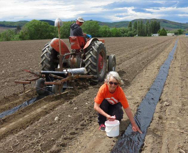 Darryl Peirce, of The Pumpkin Place, near Millers Flat, lays plastic in rows, while Raewyn Officer, of Lake Roxburgh village, plants individual grey pumpkin seeds on the 4.5ha block on Saturday. Photo: Yvonne O'Hara