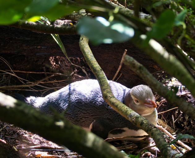 A hoiho (yellow-eyed penguin) nests at the Te Rere Reserve in the Catlins last month. Photo: Forest and Bird