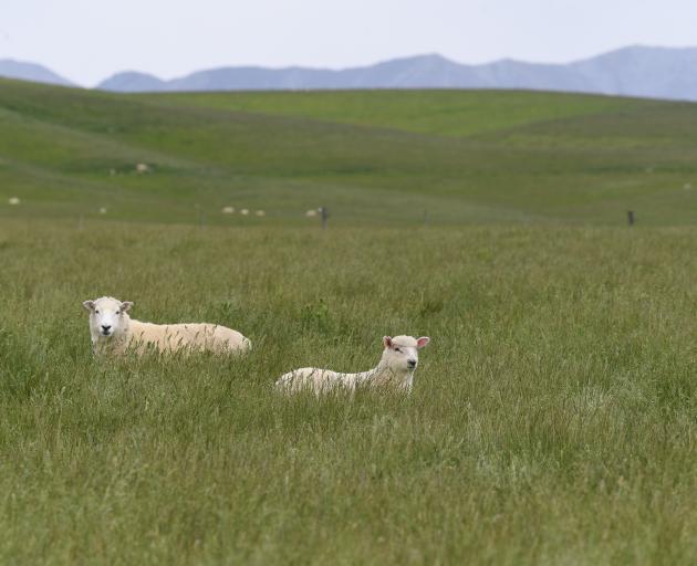 A ewe and lamb in lush grass near Ranfurly. Photo: Stephen Jaquiery