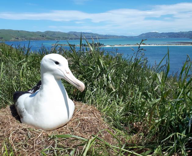 An albatross nurses its egg at Taiaroa Head yesterday. PHOTO: SUPPLIED