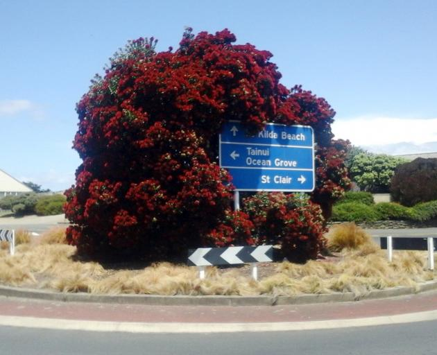 The pohutukawa on a traffic island at the entrance of John Wilson Dr. The sign should have been...