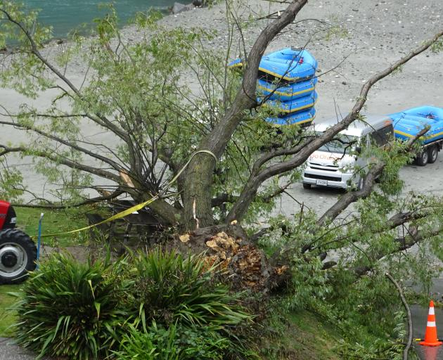 A large willow tree lies where it fell at the Shotover Jet base in Queenstown on Tuesday during high winds. Photo: Tracey Roxburgh