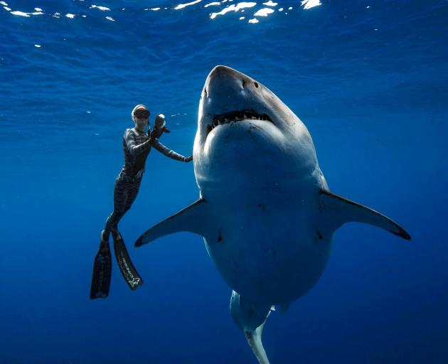 A shark said to be 'Deep Blue', one of the largest recorded individuals, swims offshore Hawaii....