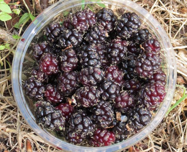Mulberries may look like boysenberries, but they are smaller and sweet.