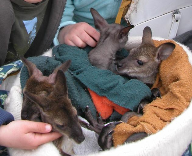 Wallabies are classified as an unwanted organism under the Biosecurity Act 1993 and possession of any live wallaby is an offence. There are exemptions, though, for petting zoos and wildlife parks. Photo: Allied Press Files