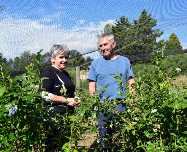 Blue Willow Blueberries co-owners Noreen and Eric Johnson walk among blueberry plants on their...