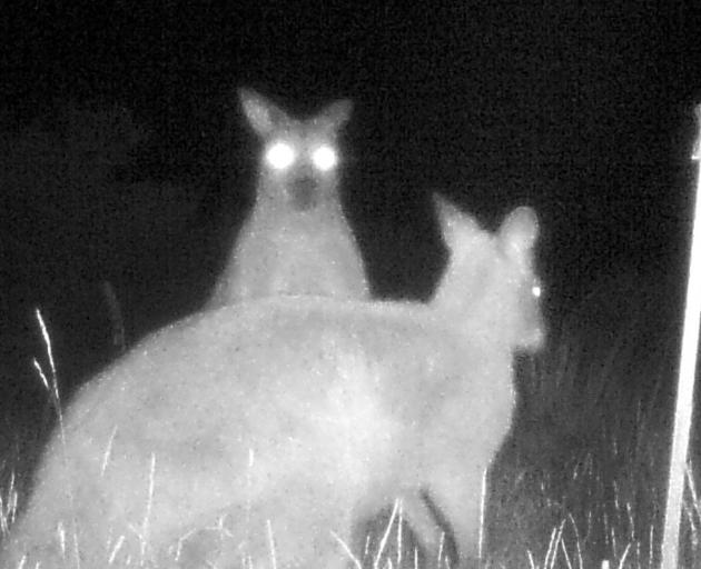 A night vision view of a pair of wallabies on a property in Naseby. PHOTOS: MANIOTOTO PEST...