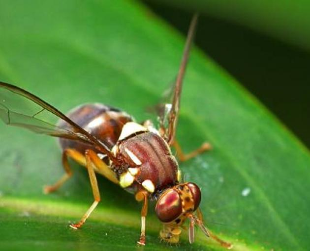 Biosecurity NZ teams are on the hunt for more Queensland fruit flies after one of the destructive...