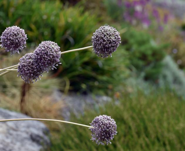 Seedheads can be highly ornamental, such as large Allium balls. Often as beautiful as the flower,...