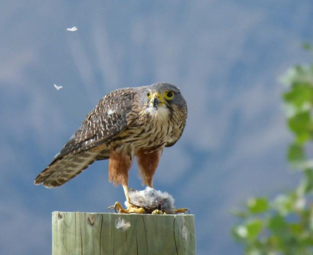 A New Zealand falcon rests on a fence post after swooping on a sparrow. Photo: DONNA FALCONER