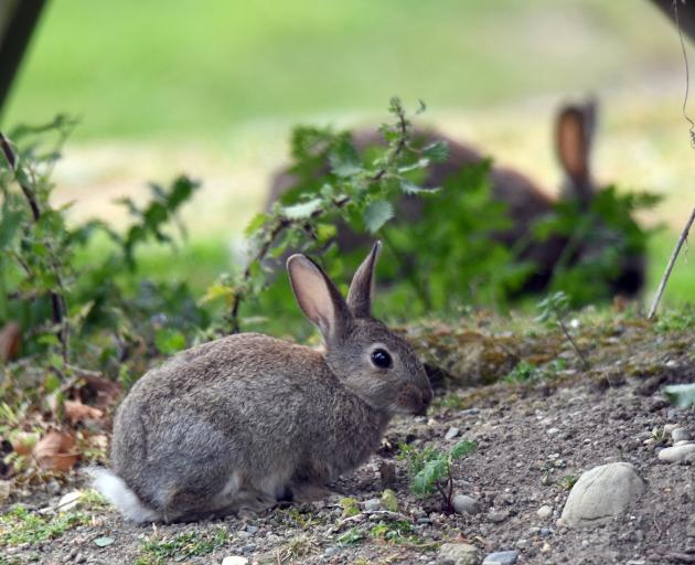 Since the rabbit plagues of the 1880s local and central government has been searching for a rabbit solution. Photo: ODT files