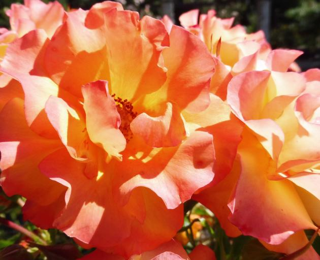"""Wildcat"" is a very tall and eye-catching rose. Photo: Supplied"