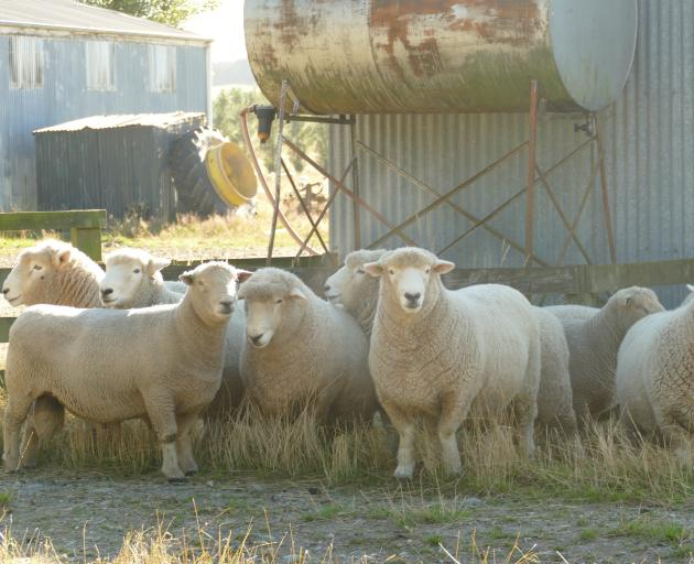 Some of the Merrydowns Romney rams with one of the Southdown rams front left.