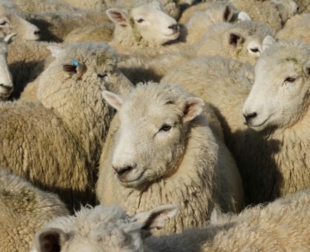 A downturn in sheep meat price could see a critical loss of breeding stock from the sector and problems for the rural economy. Photo: SRL archive