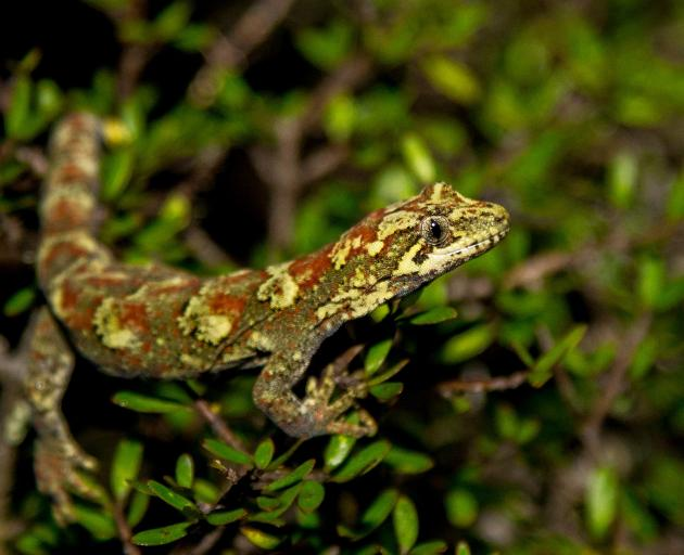The Tautuku gecko has been positively identified in its native catchment recently. Photo: Phil Melgren