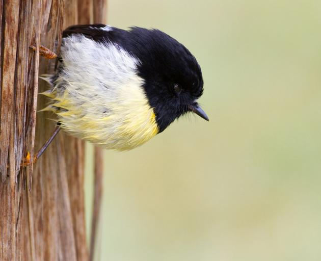 The Tomtit I knew as Bung-eye. Photo: Paul Sorrell