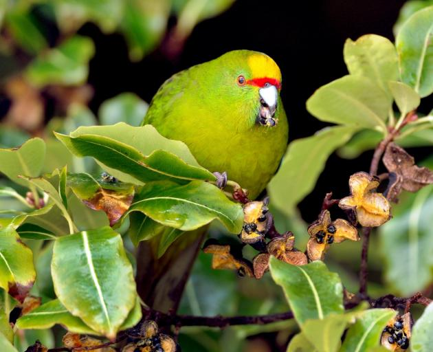 The declining yellow-crowned kakariki has been identified in the Tautuku Forest, Catlins. This specimen was seen on Codfish Island to the west of Stewart Island/Rakiura. Photo: Stephen Jaquiery
