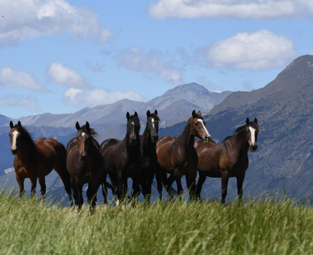 Strong pasture growth was a bonus for the primary sector; pictured, browsing rodeo horses above...