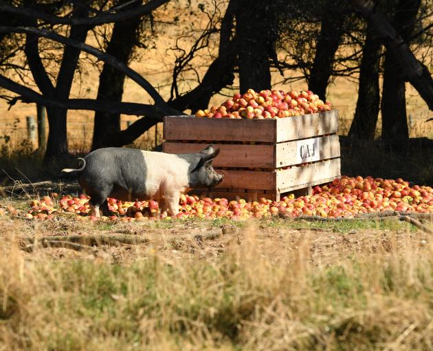 Apples today but the farm pigs also devour spent barley from the brewing process.