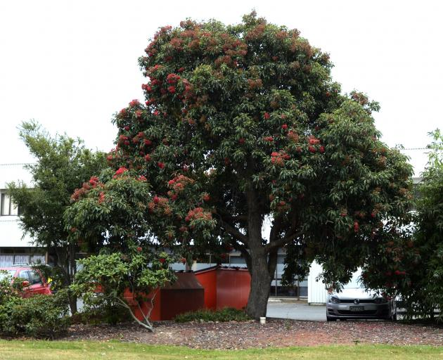 The beautiful Albany red gum in the car park of the CCA Dunedin Branch Office at 29 Portobello Rd, between Portsmouth Dr and Andersons Bay Rd. Photos: Gerard O'Brien