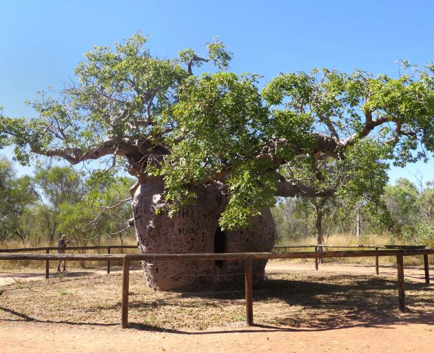 The Boab Prison Tree is over 1000 years old. The hollow tree trunk was used as a ''prison cell''...