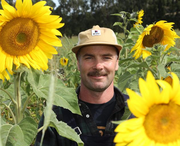 Mark  Anderson, of Waiwera Gorge, Clinton, is trialing a pasture mix that includes sunflowers as a method of soil regeneration. He is also looking at the plants as an alternative polyculture forage for the dairy farm. Photos: John Cosgrove