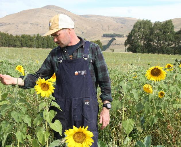 Waiwera Gorge dairy farmer Mark Anderson has sown sunflowers as part of a pasture seed recipe to grow an alternative polyculture forage.
