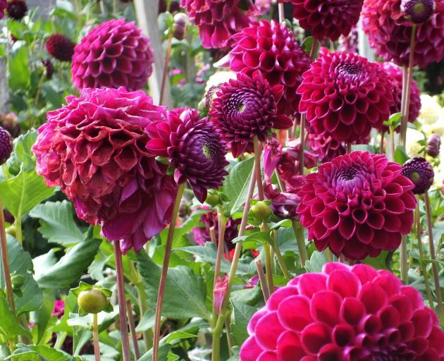 Large, light-hungry plants such as dahlias struggle to transition from outdoor to indoor plant.