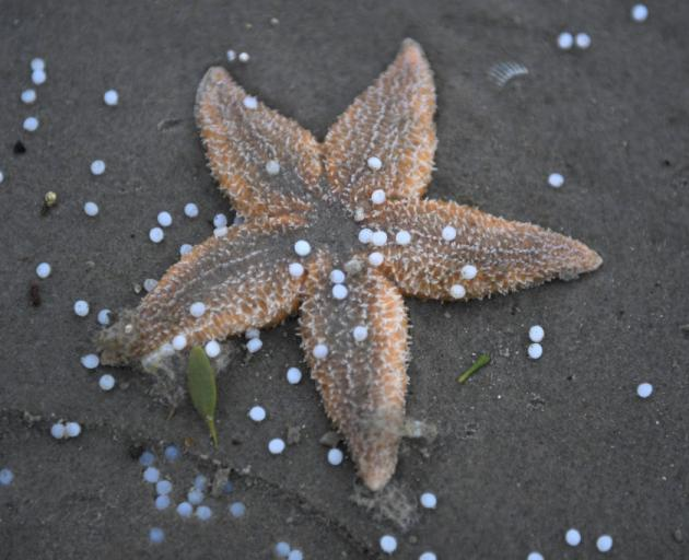 A starfish is littered with plastic pearls washed up on Netherlands beach after containers were...