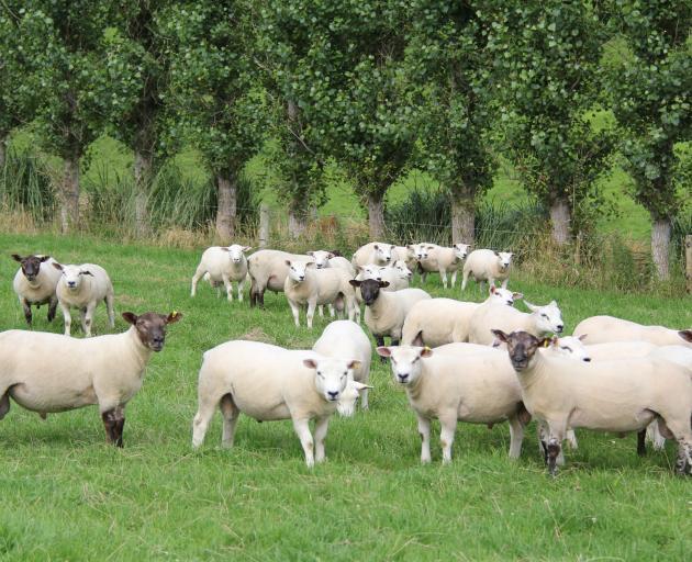 Beltex-cross ram lambs on the Robinsons' farm at Glenham. Photo: Robinson Family