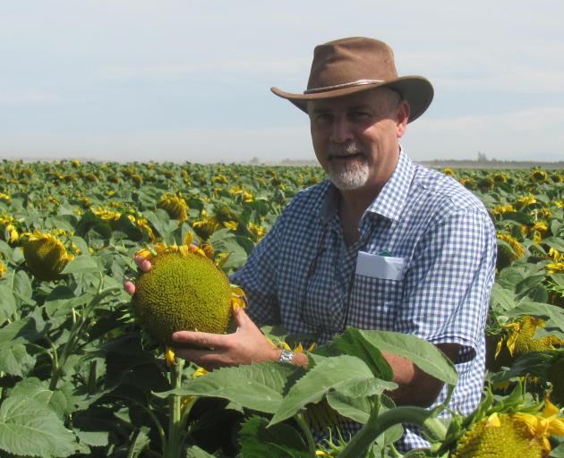 Foundation for Arable Research seed industry research centre manager Ivan Lawrie among sunflowers at the Turley Farms, Chertsey Kyle Rd property, in Mid Canterbury. Photo: Toni Williams