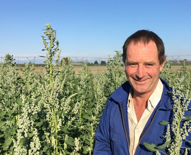 Methven grower Andrew Currie among the quinoa trial plants due for harvest in May. Photo: Toni...