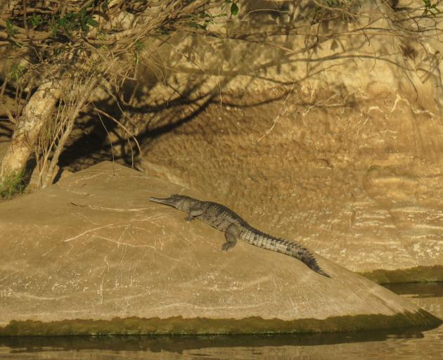 A snoozing crocodile on the banks of the Fitzroy River.