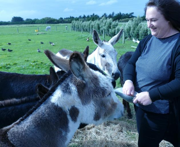 Anne Heffernan gets some attention from her donkeys with the help of a small treat. Photos: Ken Muir