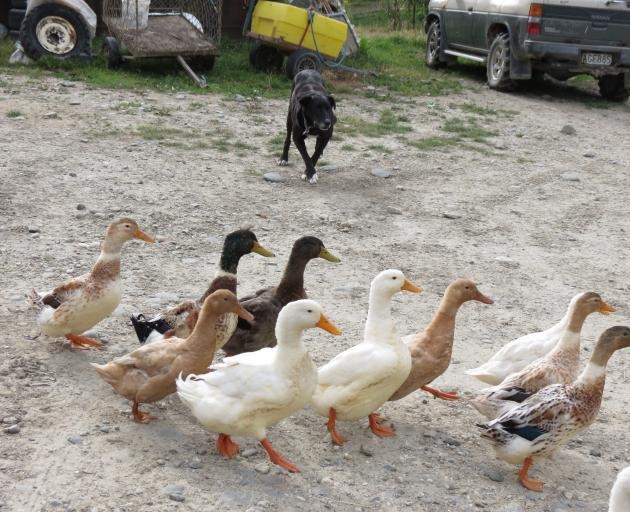 Barb and Stuart Peel's retired heading dog Bud rounds up their flock of ducks on their Raes...