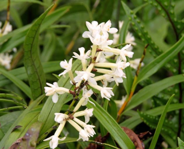 复活节兰花有小白花和长矛状叶子的圆锥花序。照片:Alyth Grant