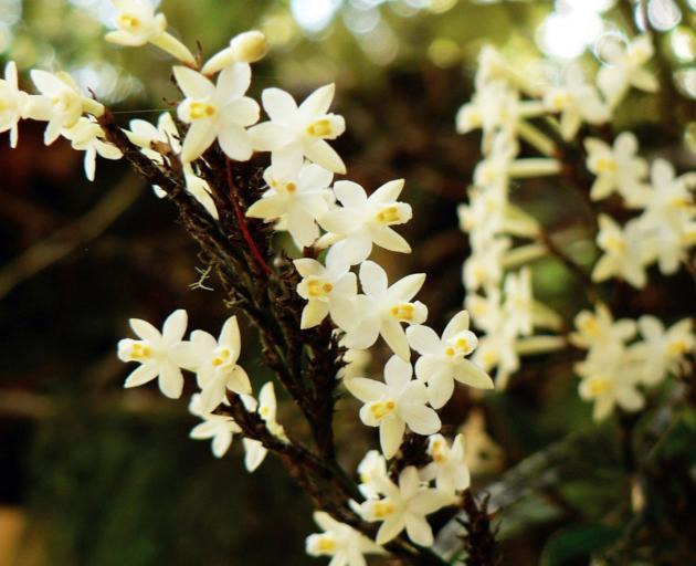 花中的橙色中心吸引昆虫进行授粉。照片:Orokonui档案