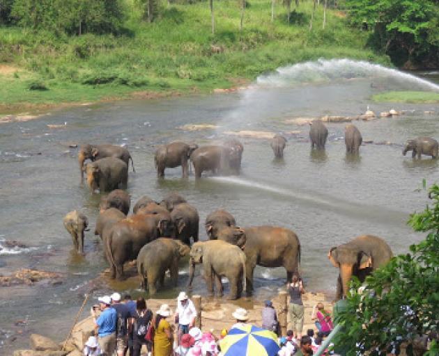 Pinnawala Elephant Orphanage. Photo: Deborah Heron