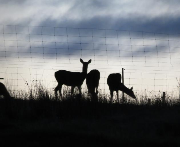 Deer feed at dawn in a paddock near Alexandra recently. The cattle disease Mycoplasma bovis has meant a delay in Deer Industry New Zealand becoming a signatory to the Government Industry Agreement. Photo: Yvonne O'Hara