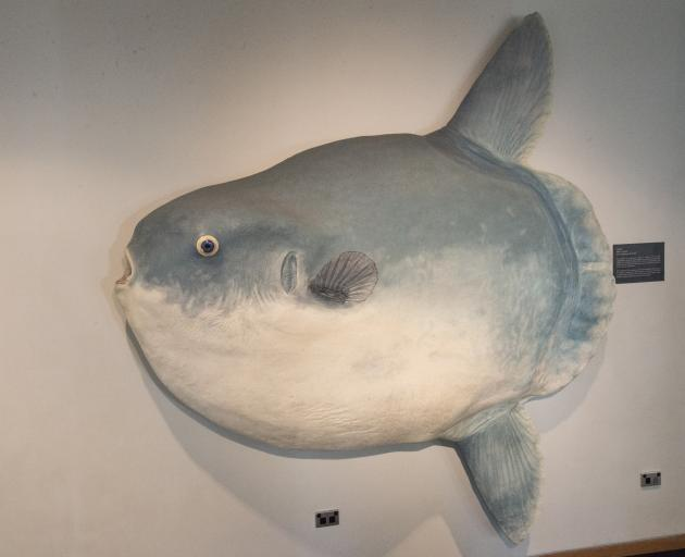 A sunfish is displayed on a wall at the Otago Museum. Photo: Supplied