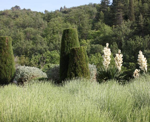 The blunt cut cypresses Nicole carefully nursed to life, now more than 30 years old.